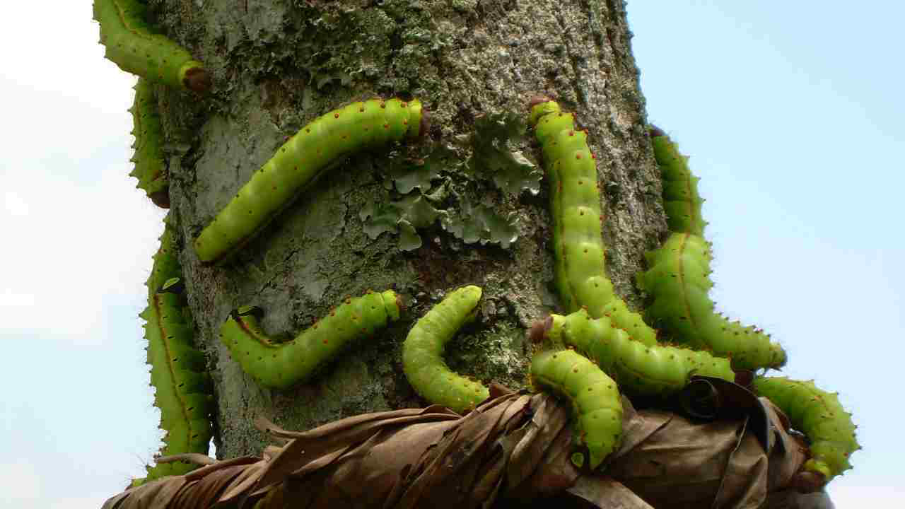 Muga_silkworm_tree_com